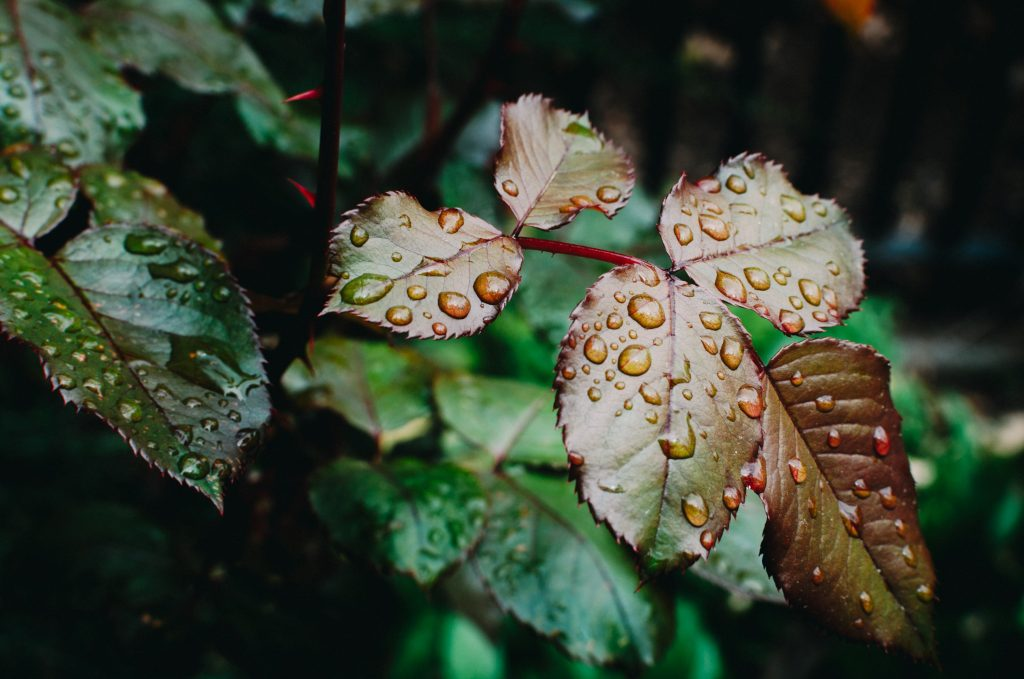 rainy leaf